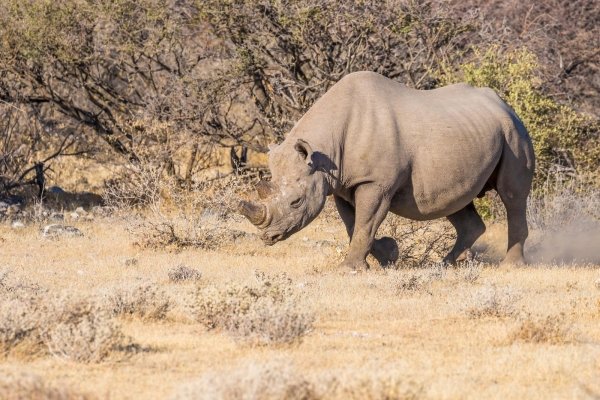 A male black rhino ( Diceros Bicornis) walking in the savannah, Etosha National Park, Namibia
